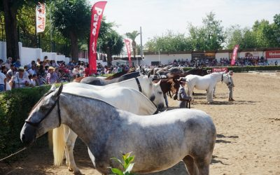 El Pura Raza Español se presenta en la Feria Ganadera virtual de Zafra como referente mundial del caballo