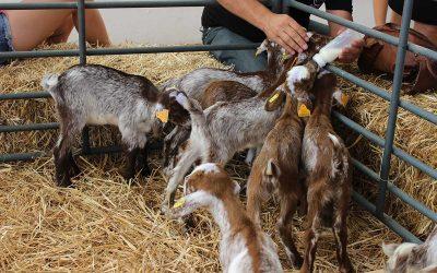 Las consecuencias de la pandemia en el sector caprino cierran las sesiones de la FIG virtual de este lunes